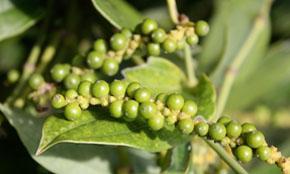 White Pepper Crop